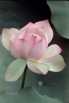 Pink lotus flower in water